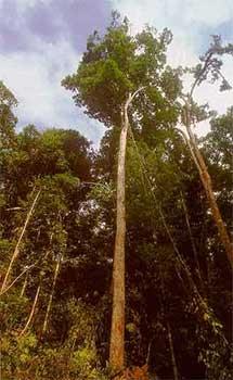 Muiracatiara-arvroe